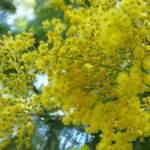 Précieux emblème de la Provence, le mimosa à l'odeur enchanteresse illumine les ruelles des Arcs sur Argens !