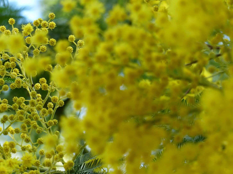 Le Mimosa, un bouquet d'or que vous semblez aimer autant que moi !