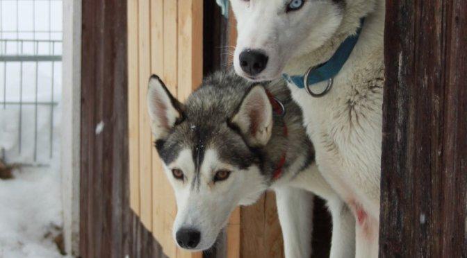Cherche handler ou musher en Suède pour 2019-2020