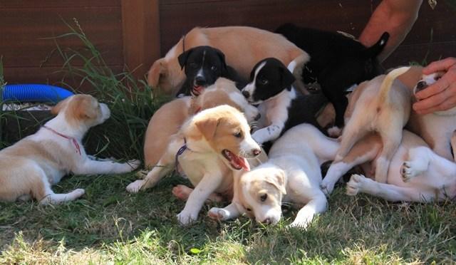 Chiots de chiens de tête pour sprint ou mid à réserver