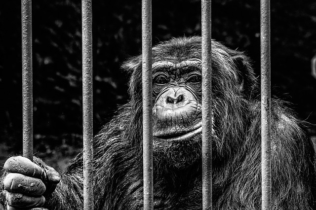 chimpanze-prison
