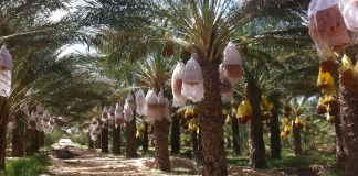 Datte-palmiers_tunisie