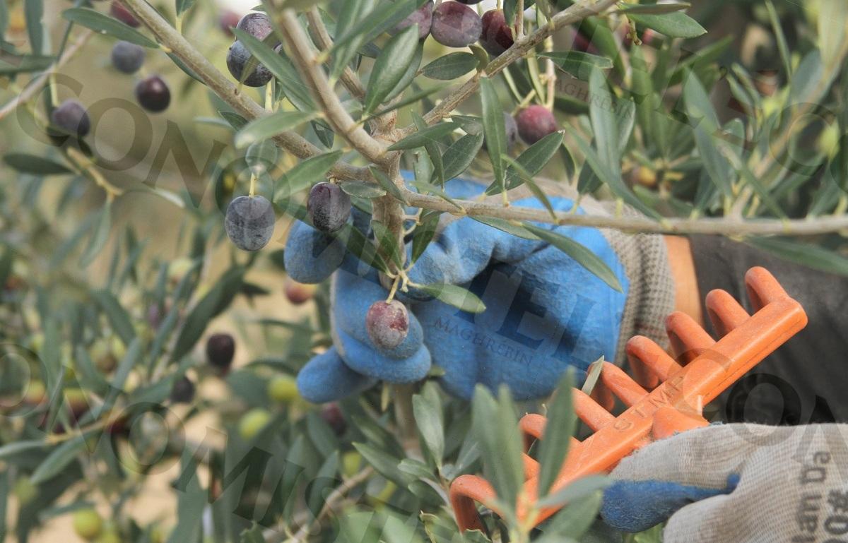 Huile d'olive : baisse de la récolte de 65% durant la campagne 2020/2021