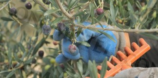 recolte huile d'olive (1)