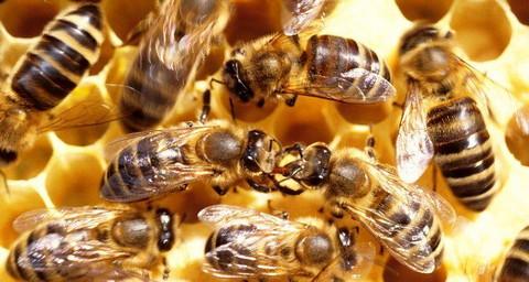 cele mai frecvente bolii la albine