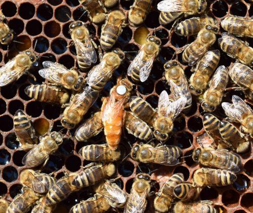 despre albine si cresterea lor
