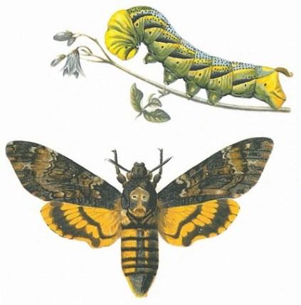 fluturele cap de mort