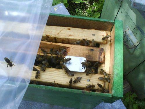 lectii apicultura pentru incepatori - curs online