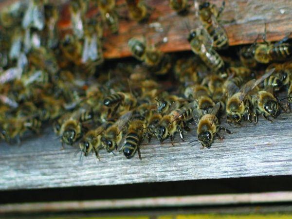 lectii apicultura online