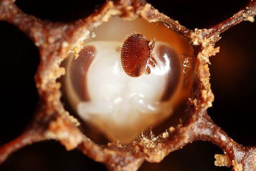cum afecteaza varroa albinele