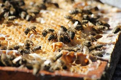 dezvoltarea albinelor primavara