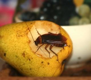 Roach on fruit