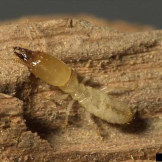 exterminate-subterranean-termites