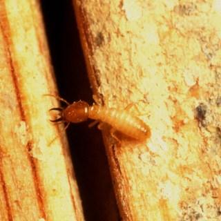 subterranean-termites