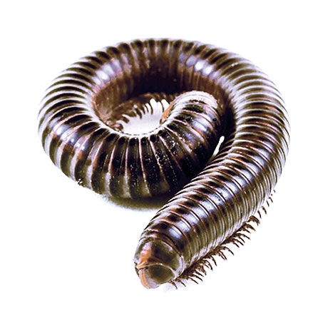 Millipede Pest Control