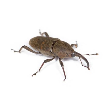Weevils Pest Control