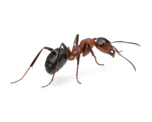 Service Area Residential Pest - Ants