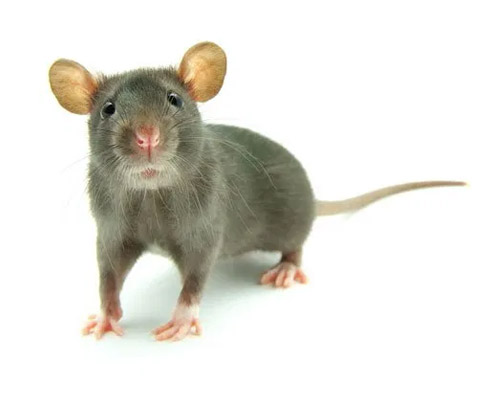 Service Area Residential Pest - Rodents