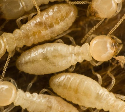 Types of Termites Found in South Carolina