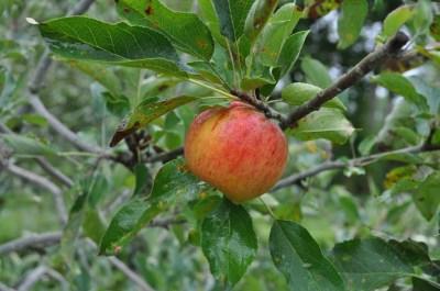Ellison's Orange apple