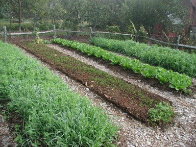 Oat cover crops