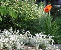 cerastrium and poppy