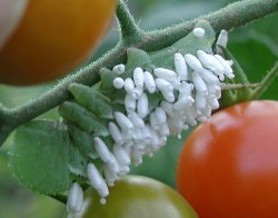 Rice-like granules attached to tomato hornworm are parasites