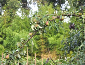 Fruiting pear branch
