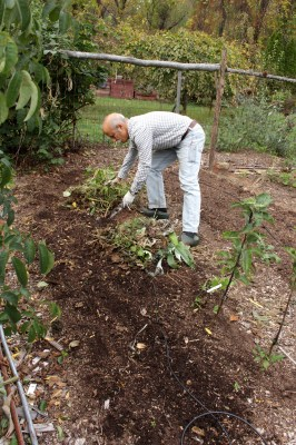 Clearing bed of all weeds and plants in preparation for its layer of compost.