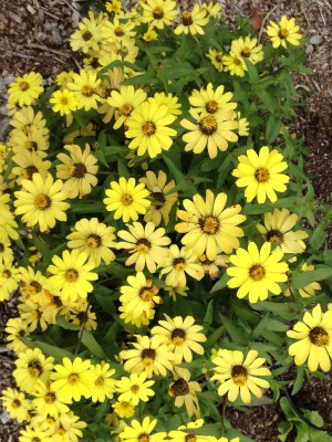 Yellow blossoms of Zahara zinnia