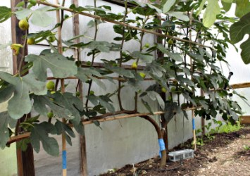 Espalier fig in October, with ripe fruits