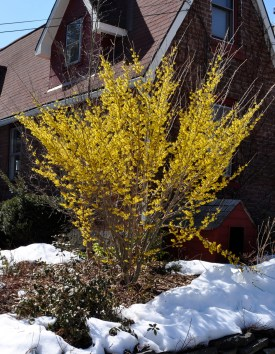 Witch hazel is a shrub needing little or no pruning