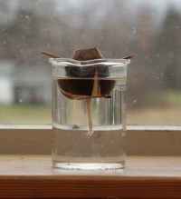 Avocado sprouting in water
