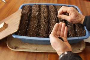 Onion seeds being sown in mini-furrows in pan of potting soil.