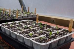 Seedlings in APS trays