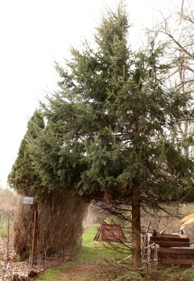 Deer damaged arborvitae and balsam fir.