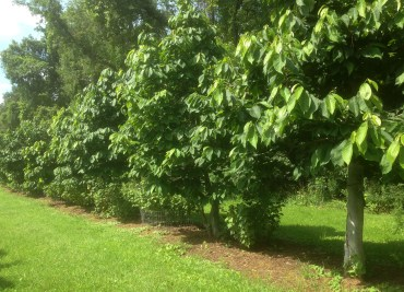 Row of pawpaw & black currant