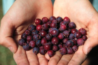 Part of the juneberry harvest.