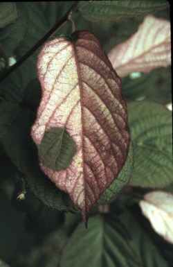 Variegated leaves of A. kolomikta