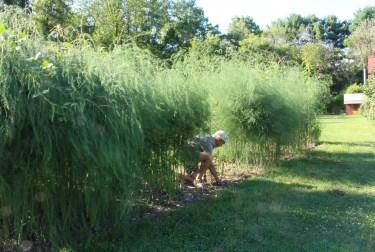 Weeding asparagus