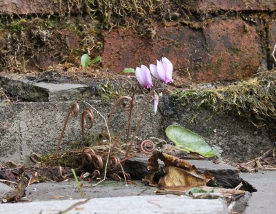 Cyclamen flower in a crannied wall