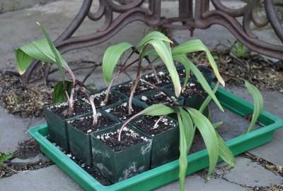 Ramp seedlings