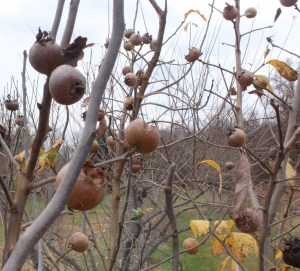 Medlars, ready for harvest