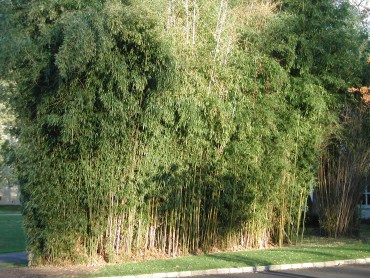 Bamboo after a mild winter