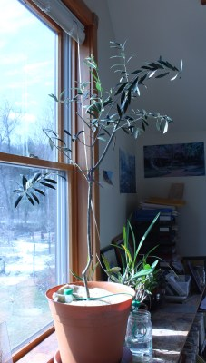 My potted olive tree, pruned