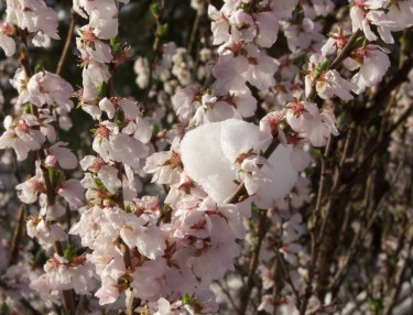 Nanking cherry flowers with snow