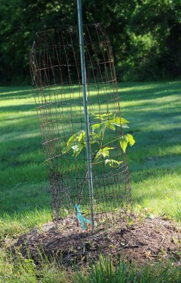 Shellbark hickory, 1 mo. after planting