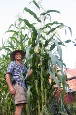 Tall Golden Bantam corn