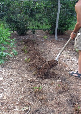 Spreading compost in strawberry bed