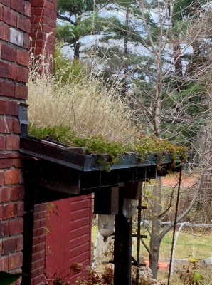 Weeds on green roof